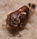 Which planthopper? - Ophiderma