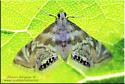 moth sp - Petrophila canadensis