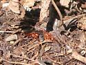 Red spider wasp - Tachypompilus ferrugineus