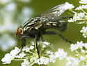 black and white fly-red eyes - Sarcophaga