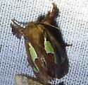 Euclea nanina or delphinii Oak-Slug Moth - Euclea delphinii