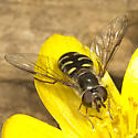 Syrphid Fly - Lapposyrphus lapponicus