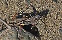 Which grasshopper? - Conozoa sulcifrons - male - female