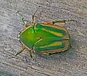 BeetleGreenJune_Cotinis_nitida07032017_GH_ - Cotinis nitida