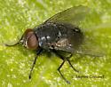 Muscid Fly - Muscina pascuorum
