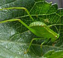 Giant Katydid nymph - Stilpnochlora couloniana