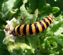 caterpillar on thistle - Tyria jacobaeae
