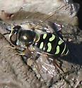 Bird Hover Fly - Eupeodes volucris - female