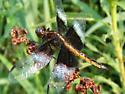 Dragonfly - Libellula luctuosa