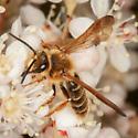 Andrena prunorum? - Andrena prunorum - male