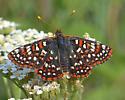 Edith's Checkerspot - Euphydryas editha - male
