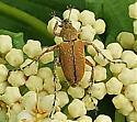 Macrodactylus subspinosus - Macrodactylus