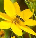 Coelioxys modesta ?  Cuckoo Leaf-cutter Bees Genus Coelioxys? - Coelioxys modestus