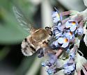 Bee fly-Heterostylum? - Heterostylum robustum - male