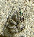Jumping Spider - Princeps? - Phidippus otiosus