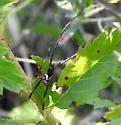 Black Widow Male - Latrodectus mactans - male