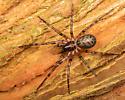 Handsome spider - Cybaeus