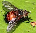 Ugly Orange Hairy Tachinid Fly - Protodejeania