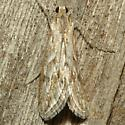 Moth - Evergestis vinctalis
