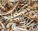 Grasshopper - Melanoplus devastator - female