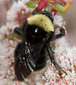 Bombus californicus? - Bombus californicus - female