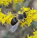 leaf-cutter bee (?) on goldenrod  - Apis mellifera