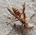 Brown and black wasp - Polistes