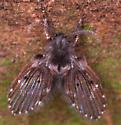 fly? - Clogmia albipunctata