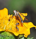 Unidentified fly - Thevenetimyia culiciformis