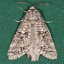 Acossus populi - male