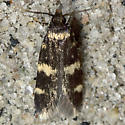 Four-spotted Yellowneck - Hodges#1134 - Oegoconia deauratella