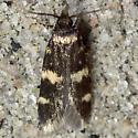 Four-spotted Yellowneck - Hodges#1134 - Oegoconia novimundi
