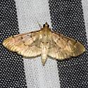 Two-spotted Herpetogramma - Hodges #5272 - Herpetogramma bipunctalis