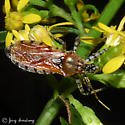 Pselliopus cinctus