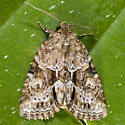 Exhausted Brocade - Neoligia exhausta