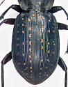 Carabidae, elytraX  - Callisthenes calidus