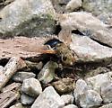 Unknown Fly - Epalpus signifer