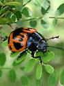 Ladybug? - Labidomera clivicollis