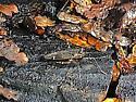 Bug - Cylapus tenuicornis