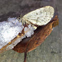 Moth/Butterfly in the Winter ? - Operophtera bruceata - male