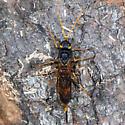 Unknown Wasp - Urocerus flavicornis - female