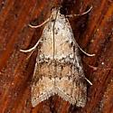 Pococera baptisiella - male