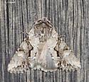 Noctuid on the shed wall - Achatia distincta