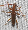 brown bycid - Hypexilis pallida