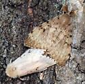 gypsy moths mating - Lymantria dispar - male - female