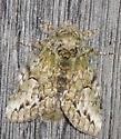 Moth Basking - Heterocampa umbrata