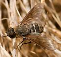 Chrysanthrax vanus - female
