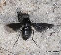 Anthrax georgicus ovipositing - Anthrax georgicus - female