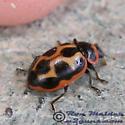 Ladybird Beetle - Naemia seriata