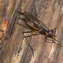 Rainieria antennaepes - female